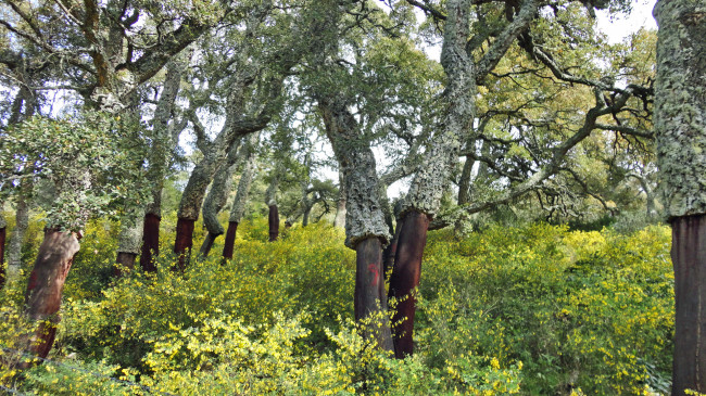 Chênes liège